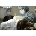 Чем кормить собаку после стерилизации или кастрации?